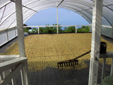 Sun-drying our 100% Kona Coffee